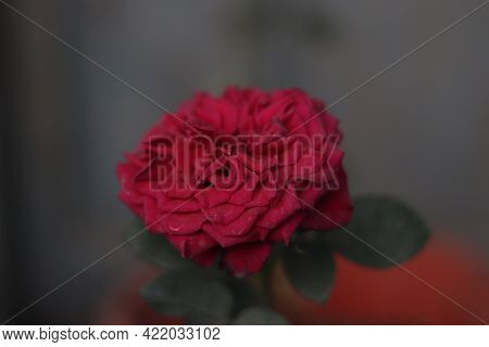 Beautiful Red Rose Flower. Big Red Rose Close Up. Deep Red Color. Big Beautiful Flower. Delicate Ros