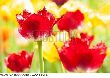 Beautiful Delicate Bright Red And Yellow Tulips With Fringed Petals, Blooming In A Spring Sunny Fiel