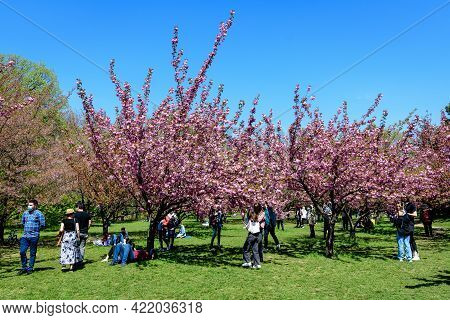 Bucharest, Romania, 25 April 2021 Large Cherry Trees With Many Pink Flowers In Full Bloom In The Jap