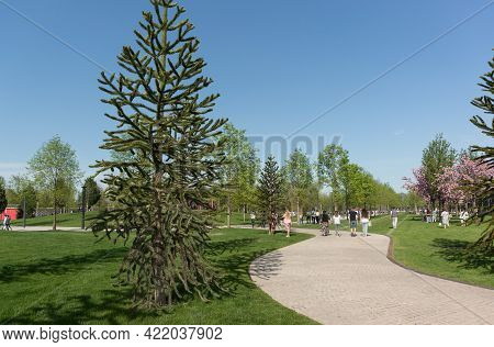 Krasnodar, Russia-may 02, 2021: The Evergreen Tree Araucaria Chili Grows In A Park Popular With Urba