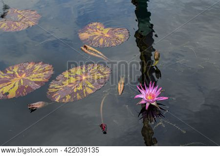 Pink Water Lily With Lily Pads In Pond In City Park, New Orleans, La, Usa