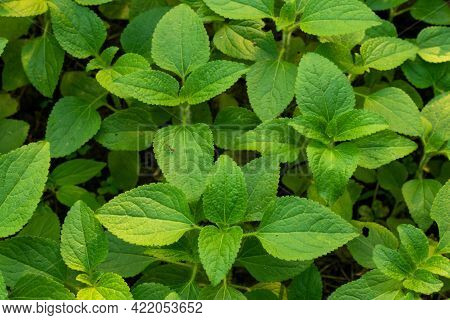 Galinsoga Quadriradiata Or Hairy Galinsoga Is A Species Of Wild Flowering Plant In The Family Astera