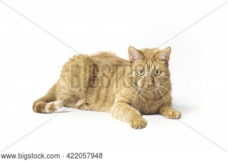 Curious Ginger Cat Lying Down And Looking At Camera . Isolatet On White Background.