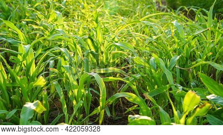 Sunlight Falls On Bajara Or Millet Plants. Newly Growing Bajara Or Millet Plants In A Field Near Jai