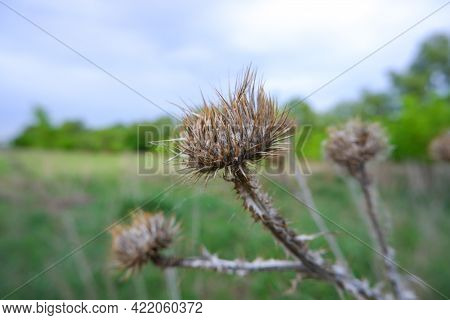 Dry Burdock Photo, Close-up. Dry Burdock Heads Close-up On A Green Background. A Wilted Plant. Burdo