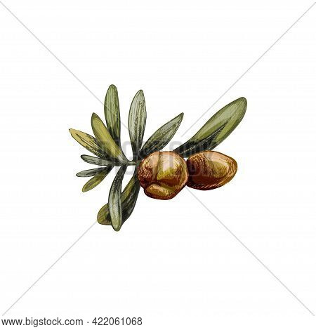 Argan Branches With Leaves And Nuts. Vintage Hatching Vector Color Illustration Isolated On White Ba