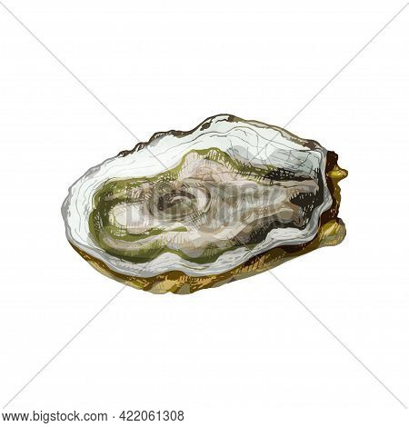 Oyster. Vintage Hatching Vector Color Illustration. Isolated On White Background. Hand Drawn Design