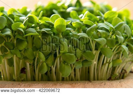 Micro Greens. Sprouts Of Flax. Flax Seedlings, Green Plants In Pot.