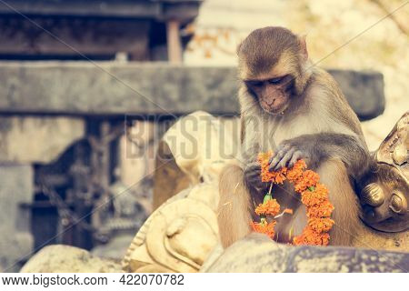 Monkey Playing With Religious Offering At A Monastery.
