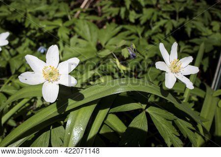 Anemonoides Nemorosa Wood Anemone White Flower In Bloom, Springtime Flowering Bunch Of Beautiful Wil