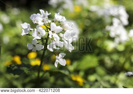 Cardamine Heptaphylla, Common Name Pinnate Coralroot Is A Species Of Flowering Plant In The Family B