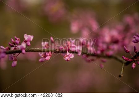 Pink Color Of Cherry Blossoms Start To Pop In Early Spring In Hot Springs National Park