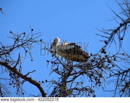 Stork Standing High On Top Of Leafless Larch Tree In Early Spring In The Biggest White Stork Ciconia