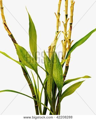 Bamboo Plant With Leaves And Stems