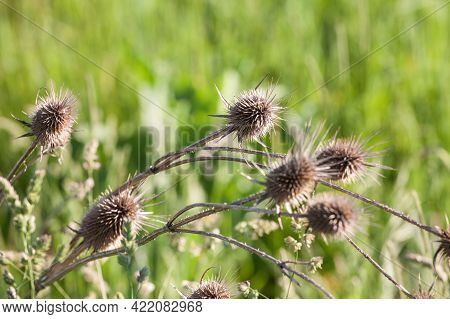 Dried Dead Brown Milk Thistle, In Fall And Winter. The Thistle, Or Silybum Marianium, Is A Spike Wil