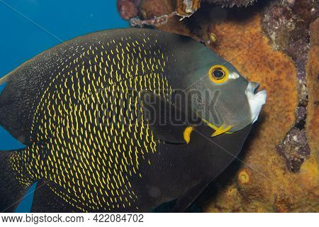 French Angelfish On Caribbean Coral Reef