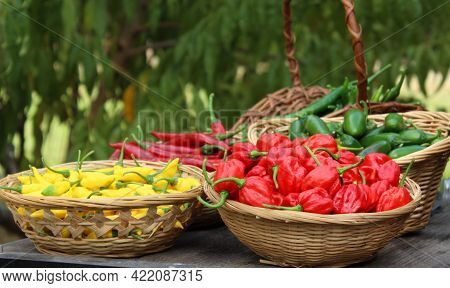 Habanero Peppers, Jalapeno Peppers And Aji Limon Peppers In Basket At Farmers Market