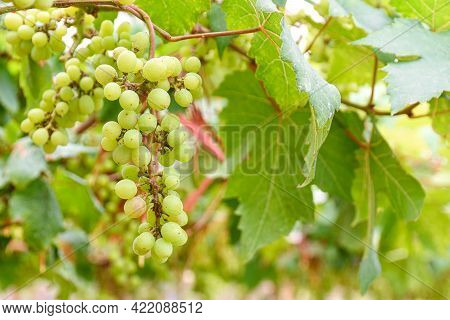 Vine And Bunch Of Green Grapes Growing In Garden The Vineyard.