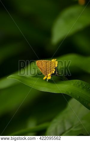 Close Up Of Acmella Oleracea Wild Yellow Grass Flower
