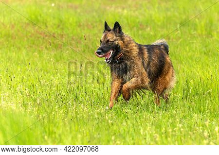 Sheepdog Running Across A Green Pasture. A Crossbreed Of A Sheepdog. Life On A Sheep Farm.