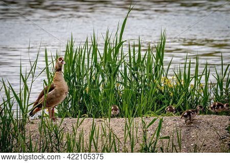 Family Egyptian Goose With Its Chicks In Grass During Spring. Alopochen Aegyptiaca In Switzerland. B