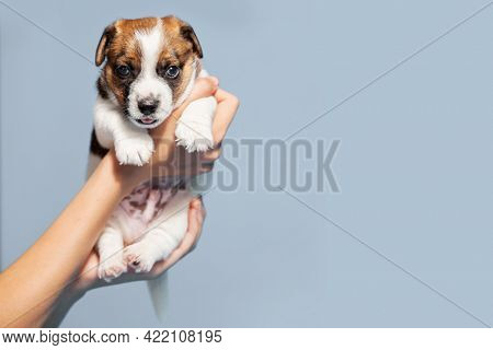 Puppy on gray background. Young small dog studio shot. Owner holds the puppy in his hands Copy Space