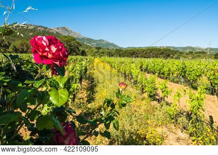 Red Rose Blooming In A Vineyard In Corsica
