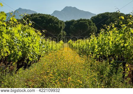 Wild Flowers In Between Rows Of Vines In A Vineyard At Calvi In The Balagne Region Of Corsica With P