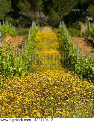 Wild Flowers In Between Rows Of Vines In A Vineyard At Calvi In The Balagne Region Of Corsica