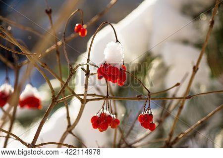 Juicy Red Berries Of Viburnum - Guelder Rose, Viburnum Opulus - Covered With Snow In Winter. Beautif