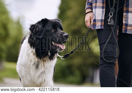 Happy Czech Mountain Dog On Pet Leash During Walk With His Owner In City.