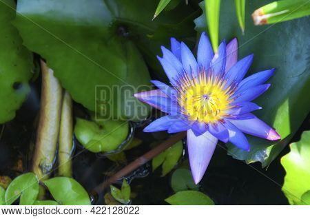 A Purple And Yellow Aquatic Water Lily In Bloom Among Green Leaves In A Garden Display In Penang Mal