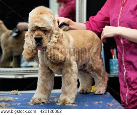An American Cocker Spaniel Stands On A Table In The Salon Being Tended By A Groomer.