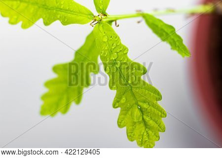 Young Oak Leaves Close Up. Juicy Green Leaves In Drops Of Water