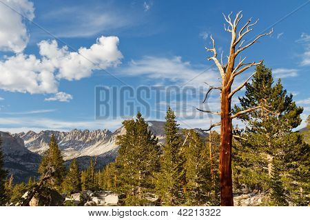 Dead Tree In High Sierra