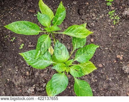 Pepper Plants Growing In Greenhouse After Watering Covered With Water Drops. Vegetable Seedlings, Ge
