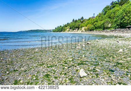Seaweed Is On The Shore And In The Water At Saltwater State Park In Des Moines, Washington.