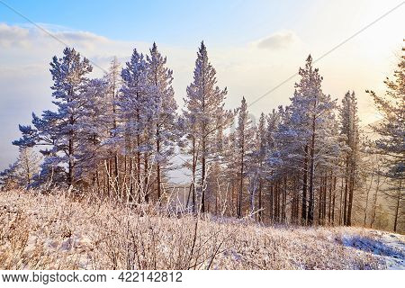 Pine Trees On A Hillside Or Mountain And Blue Sky In The Background In Siberia Near Lake Baikal In R