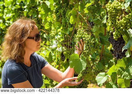 Young Woman Harvesting Grapes In Vineyard, Winemaker Or Grower Looking At Vine In Wine Farm. People