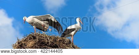 Storks On Nest On Blue Sky Background, Couple Of White Storks Stands At Its Home. Wild Stork Family