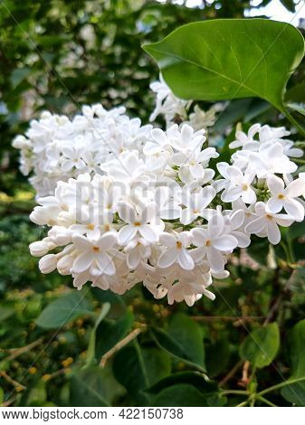 Clusters Of White Lilac Flowers. Spring Flowers Are Blooming.