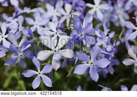 Tender Blue Woodland Phlox Or Phlox Divaricata. Wild Sweet William. Close-up Purple Flowers In Sprin