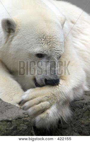 Polar Bear # 1