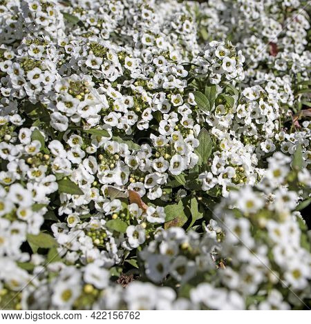 Alyssum Is A Genus Of About 100-170 Species Of Flowering Plants In The Family Brassicaceae, Native T