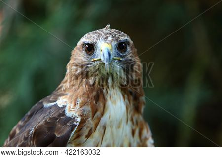 The Red-tailed Hawk (buteo Jamaicensis) Portrait. The Red-tailed Hawk Sitting On The Big Old Branch.