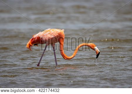 American Flamingo On The Tropical Island Of Bonaire, Part Of The Caribbean Netherlands.