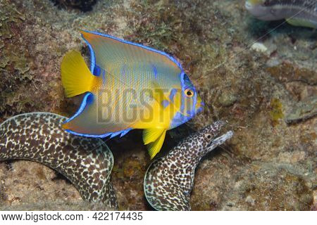 Juvenile Queen Angelfish In Transition Phase Swimming Past A Spotted Moray Eel On Coral Reef Off The