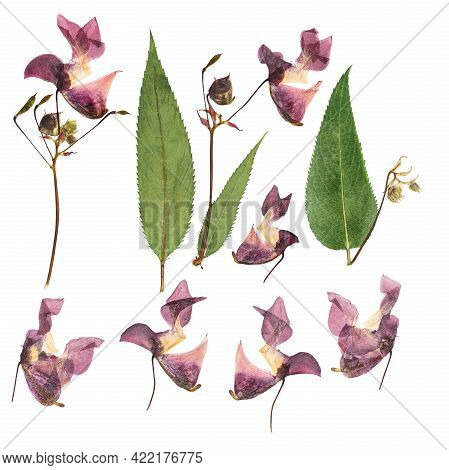 Pressed And Dried Delicate Lilac Flowers Impatiens Glandulifera (himalayan Balsam). Isolated On Whit
