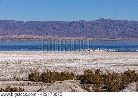 Usa, Ca, Salton Sea - December 28, 2012: Flocks Of Birds And White Pelicans Gather At Dark Blue Wate
