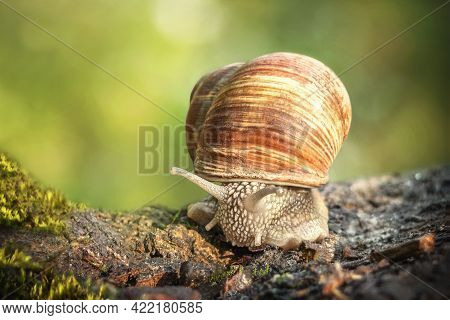 Burgundy Snails (helix Pomatia) Closeup, With Homogeneous Blurred Green Background